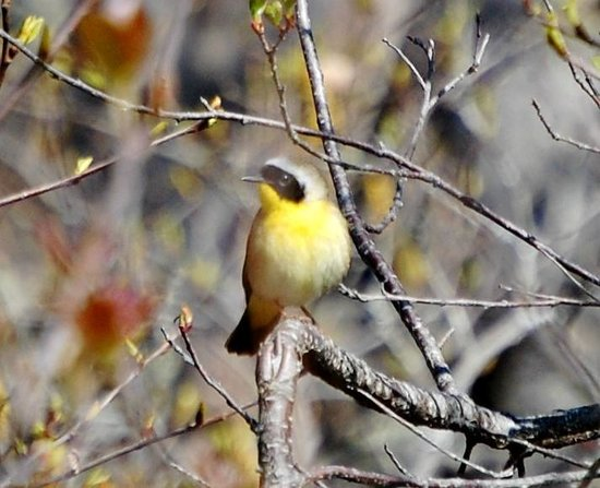 Down East Birdwatching and Nature Tours: Common Yellowthroat Warbler