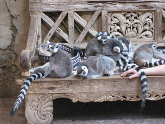 Hamburg Zoo : Katta