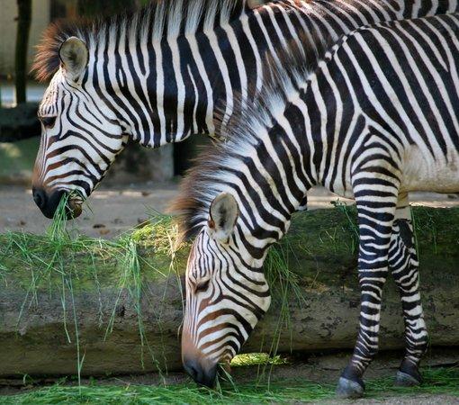 Antwerp Zoo (Dierentuin): de zebra's poseren maar al te graag