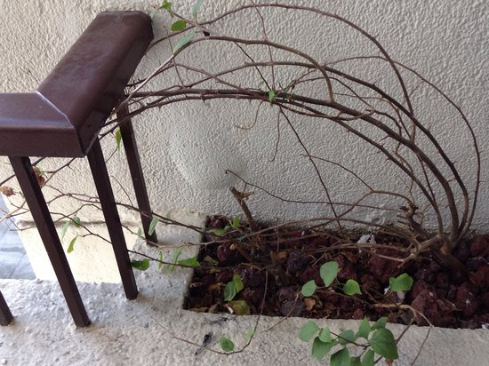 Sofitel Philippine Plaza Manila: Plant in the balcony is dried up with big thorns and cigarette butts