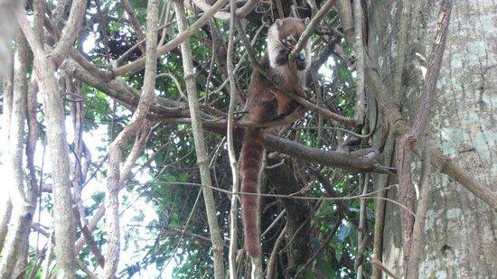 Hotel Tikal Inn: Coati