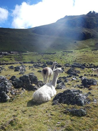 Encuentros Andinos: See llamas and alpaca herds up close
