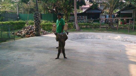 Chiang Mai Monkey Centre : Из шоу