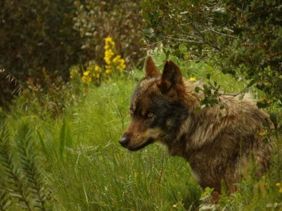 Iberian Wolf Recovery Centre: Bolota, one of the Iberian wolves at the centre