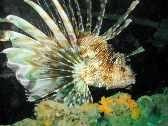 Tropical Diving : Lion Fish