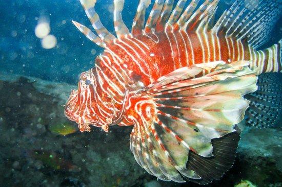 Tropical Diving : Lion Fish (Rascasse Volante)
