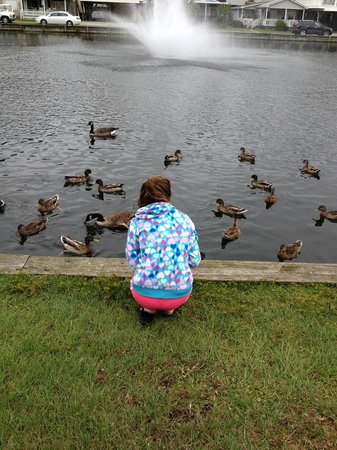 Ocean Lakes Family Campground: suppertime for the geese