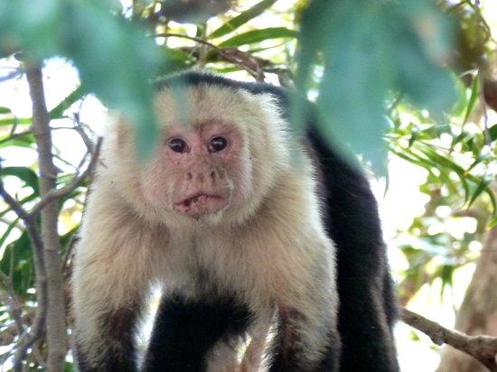 Costa Rica Private Tours: white-faced monkey
