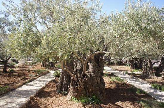 Garden of Gethsemane : Старые оливы с новыми побегами.
