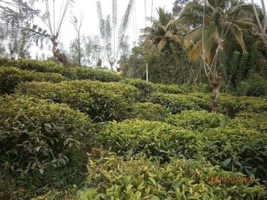 Hotel Hibiscus Beach: чайная плантация