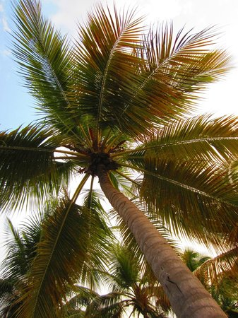 Casa Marina Beach & Reef: Palm tree