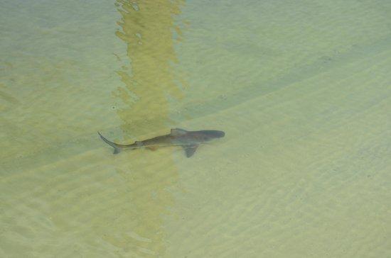 Tampa Electric Manatee Viewing Center: Shark!