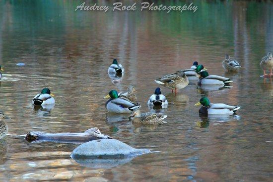 L'Auberge de Sedona : Resident ducks