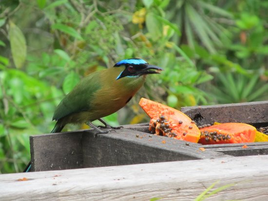 Crystal Paradise Resort : blue  crowned Mot-Mot at the feeder