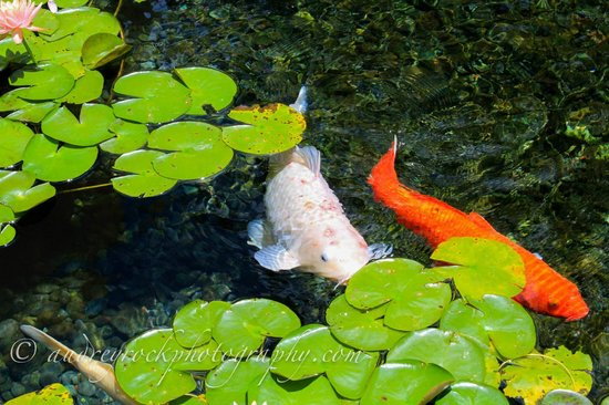 Sheraton Waikiki: Sitting in rocking chair looking at the koi fish