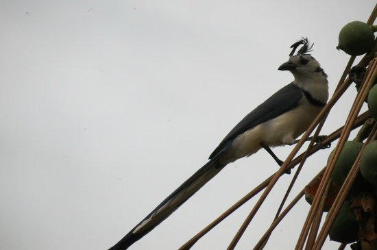 Hotel Finca del Sol: White-throated Magpie-Jay