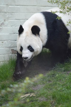 Edinburgh Zoo: Tian Tian