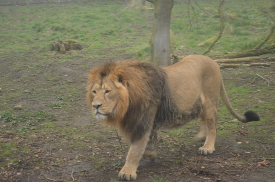 Edinburgh Zoo: Asiatic Lion