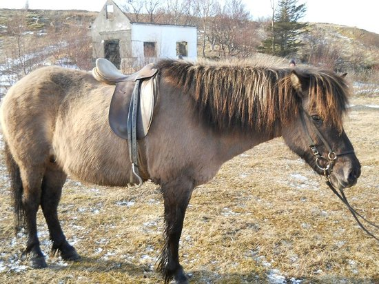 Laxnes Horse Farm : Frik...my mare for the ride