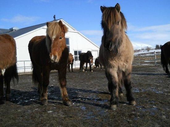 Laxnes Horse Farm : Horses