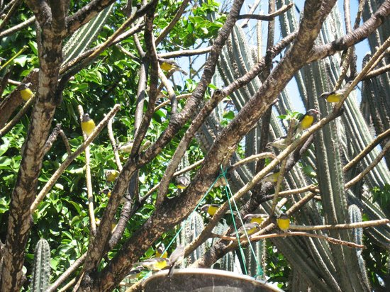 The Tourist Trap: Adorable Bananaquits