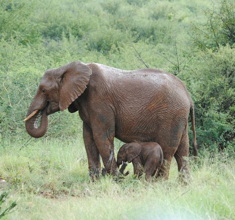Impodimo Game Lodge: Maman éléphant avec son petit de 1 jour