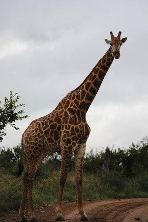 Impodimo Game Lodge: Girafe