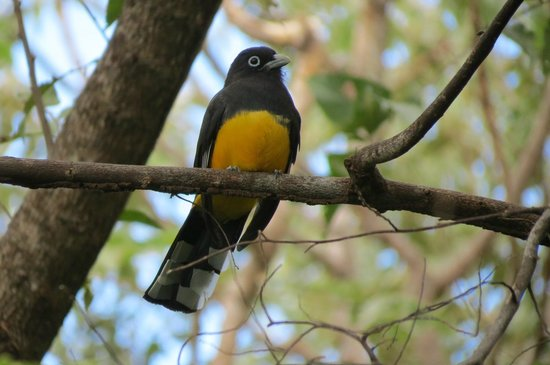Finca Mystica: Black-throated Trogon near Dining Room
