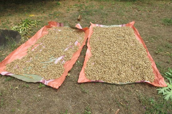 Finca Mystica: Peanuts Drying in Yard