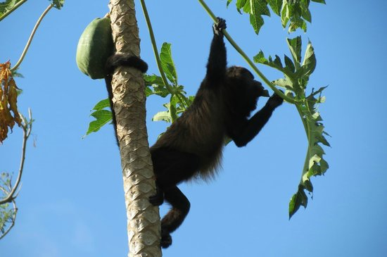 Finca Mystica: Howler Monkey in Papaya