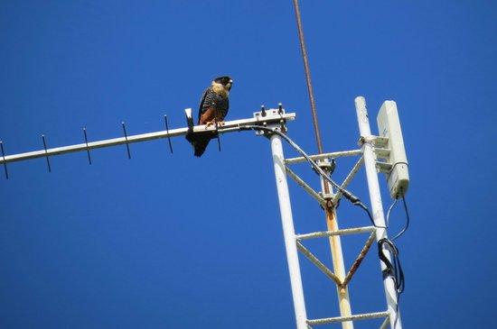 Finca Mystica: Bat Falcon at Lodge