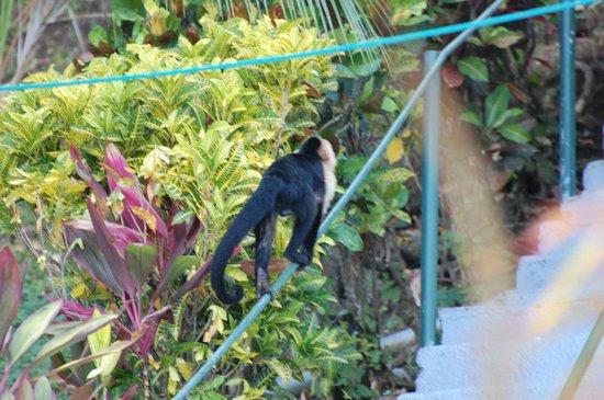 Villas de la Selva: White faced Capuchin monkey