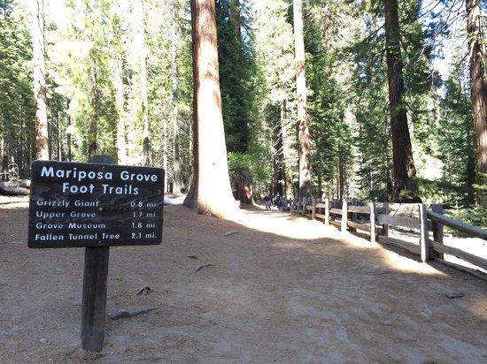 Mariposa Grove of Giant Sequoias: Start of trail