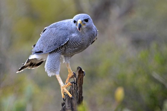 Arizona-Sonora Desert Museum: Grey Hawk