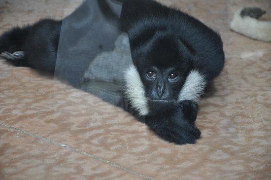 Turtle Back Zoo: Playful Gibbon