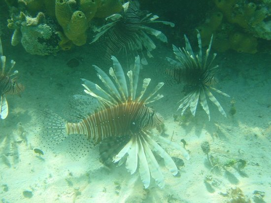 Hotel Playa Coco : Lionfish are beautiful, but do not touch them!