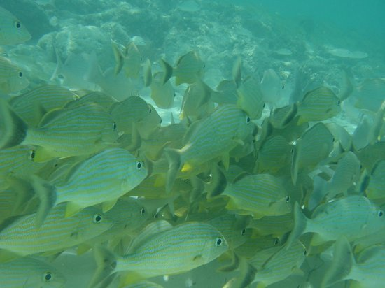 Hotel Playa Coco : Right in front (left side) of the resort, these fish will eat bread or banana out of your hand.