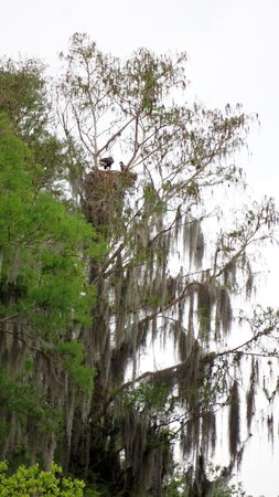 Wild Willy's Airboat Tours: Nest of baby Eagles