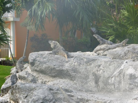 Ocean Maya Royale: The many iguanas