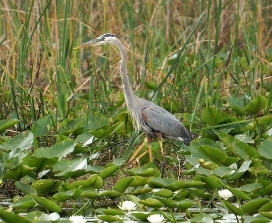 Wild Willy's Airboat Tours: Closest yet to a heron