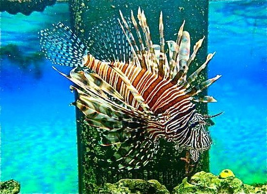 Florida Keys Eco-Discovery Center: captive lionfish