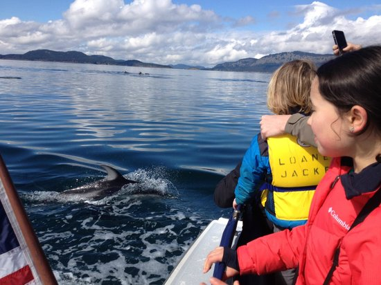 Pacific white sided dolphins!  Thanks, Deer Harbor Charters!