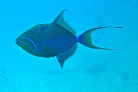Native Sons Dive Shop : Queen triggerfish