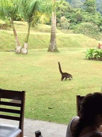 Hotel Lomas del Volcan: monkey's visiting during breakfast