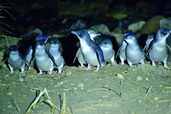 Blue Penguins Pukekura: Little Blue Penguins
