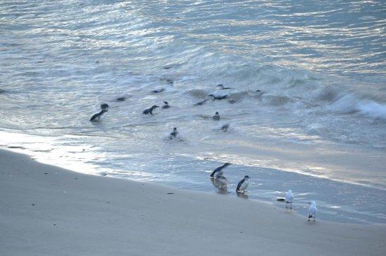 Blue Penguins Pukekura: Little Blue Penguins on Pilots Beach