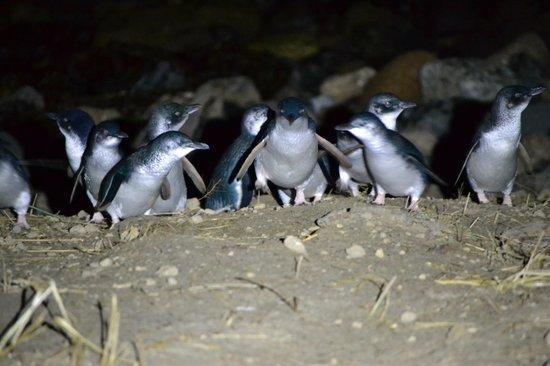 Blue Penguins Pukekura