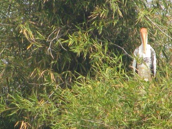 Ranganathittu Bird Sanctuary: croc spotting