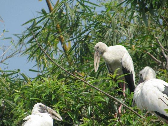 Ranganathittu Bird Sanctuary: nesting