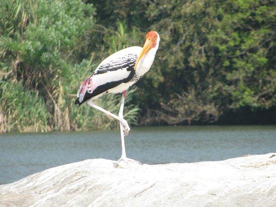Ranganathittu Bird Sanctuary: The Pelican